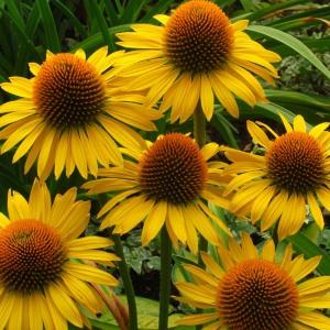 echinechea flowers