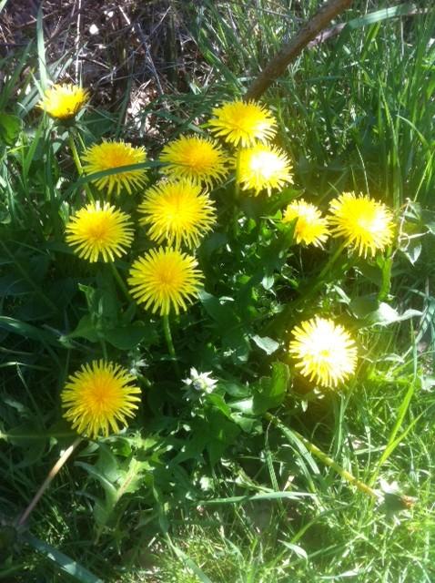 Dandelion, Flower&Leaves