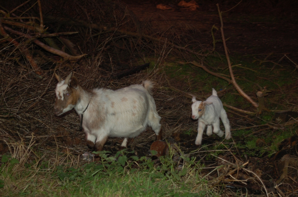 Pygmy Nannie Goat & Kid
