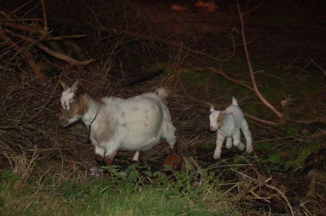 Pygmy Nannie Goat & Kid