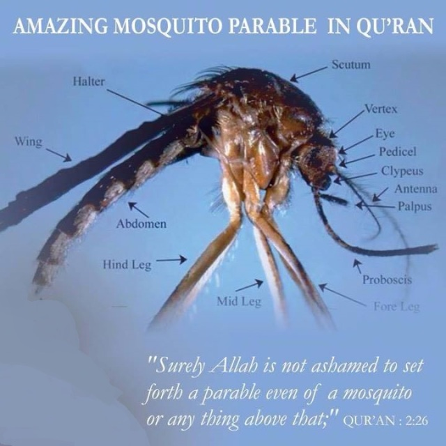 The Mosquito...far from ordinary