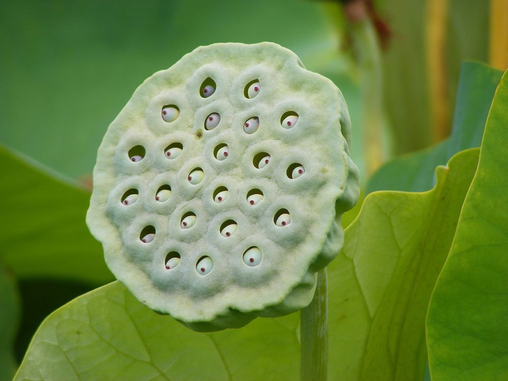 Fruit of the Lotus Contains the Seeds