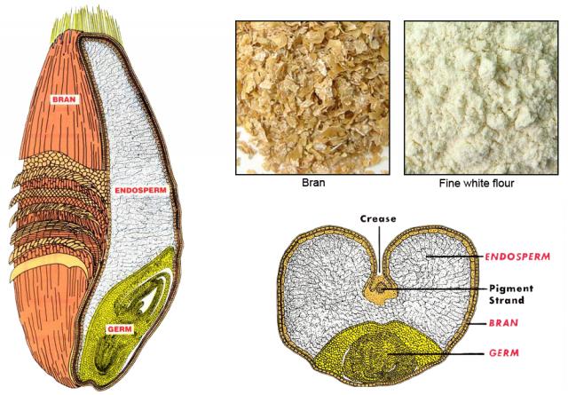 wheat kernel